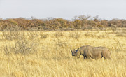 Bush Wildlife Framed Prints - Black Rhinoceros Walking the Dry Plains Framed Print by Paul W Sharpe Aka Wizard of Wonders
