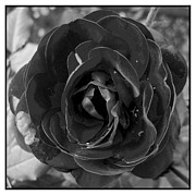 Bittersweet Framed Prints - Black Rose Framed Print by Nina Ficur Feenan