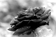 Yumi Johnson - Black Rose with Raindrops