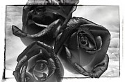 Thomas Born Acrylic Prints - Black Roses Acrylic Print by Thomas Born