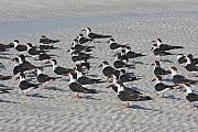 Black Skimmer Prints - Black Skimmer On Siesta Key Print by Christiane Schulze