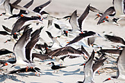 Bill LITTELL - Black Skimmers