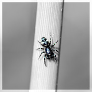 Black Spider In Black And White Print by Tommy Hammarsten