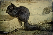 Jeff Swanson - Black Squirrel