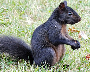 Tabatha Knox - Black Squirrel
