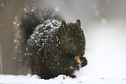 Tammy Franck - Black Squirrel