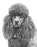 Akc Drawings Framed Prints - Black Standard Poodle Sketched in Charcoal Framed Print by Kate Sumners