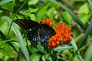 Black Swallow Tail On Beautiful Orange Wildlflower Print by Peggy  Franz
