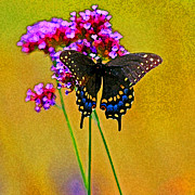 Antennae Digital Art - Black Swallowtail Butterfly Bright by Karen Adams