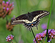 Karen Adams Metal Prints - Black Swallowtail Butterfly  Metal Print by Karen Adams