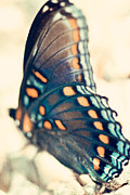 Black Swallowtail Prints - Black Swallowtail Butterfly Print by Kim Fearheiley