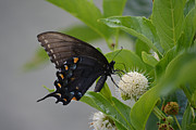 Ruth Housley Metal Prints - Black Swallowtail Butterfly Metal Print by Ruth  Housley