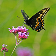 Karen Adams Acrylic Prints - Black Swallowtail Butterfly Square on Verbena Acrylic Print by Karen Adams