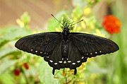 Diane Wood - Black Swallowtail