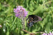 Photo Manipulation Photo Posters - Black Swallowtail Poster by EricaMaxine  Price