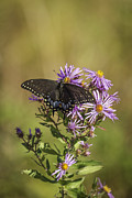 Aster Flower Prints - Black Swallowtail on Aster Flower 1 Print by Thomas Young