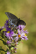 Aster Flower Prints - Black Swallowtail on Aster Flower 2 Print by Thomas Young