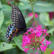 Suzanne Gaff - Black Swallowtail on...