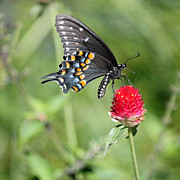 Shallow Depth Of Field Framed Prints - Black Swallowtail on Red Flower Framed Print by Suzanne Gaff