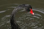 Black Swan Enjoying In Water Print by R J