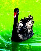 Black Swans Art - Black Swan by John King