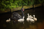 HJBH Photography - Black swan with baby swans