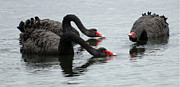 Black Swans Metal Prints - Black Swans Australia Metal Print by Bob Christopher