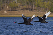 Black Swans In Flight Print by Mr Bennett Kent