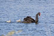 Black Swans Print by Steven Ralser
