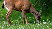 Black-tail Posters - Black-tail Deer in May Poster by Kae Cheatham