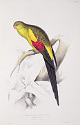 Black Bird Drawings Prints - Black Tailed Parakeet Print by Edward Lear