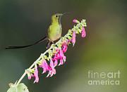 Dan Suzio - Black-tailed Train-bearer Hummingbird