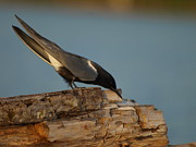 Peterson Nature Photography Posters - Black Tern Fishing Poster by Melissa Peterson