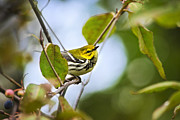 Rollosphotos Digital Art - Black-Throated Green Warbler by Christina Rollo