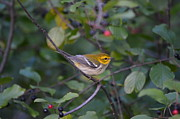 Birds Metal Prints - Black-throated Green Warbler Metal Print by James Petersen