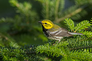 Yellow Warbler Framed Prints - Black-throated Green Warbler Framed Print by Mircea Costina Photography