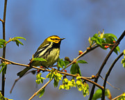 Song Bird Photos - Black-throated Green Warbler by Tony Beck