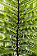 Tim Gainey - Black Tree Fern Frond