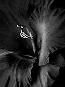 Gladiola Prints - Black Velvet Gladiolia Flower Print by Jennie Marie Schell