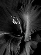 Black Velvet Gladiolia Flower Print by Jennie Marie Schell
