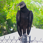 C H Apperson - Black Vulture