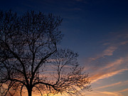 Nigra Photos - Black Walnut Tree in Sunset by Anna Lisa Yoder