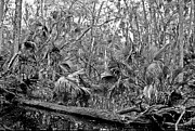 Polk County Florida Photos - Black Water. Green Swamp Wildlife Management Area Polk County. by Chris  Kusik