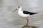 Black Winged Stilt Framed Prints - Black-winged stilt  Framed Print by Giulio Zanni