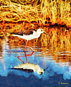 Black Winged Stilt Framed Prints - Black winged Stilt II Framed Print by George Rossidis