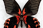 Black Wings Prints - Black Wings Print by John Rizzuto