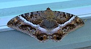 Mary Deal Framed Prints - Black Witch Moth Framed Print by Mary Deal