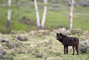 Animal Photos - Black Wolf and Aspens by Max Waugh