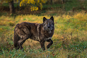 Mark Steven Perry - Black wolf in fall colors