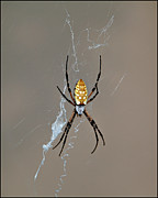 Fuad Azmat Prints - Black Yellow Spider Print by Fuad Azmat